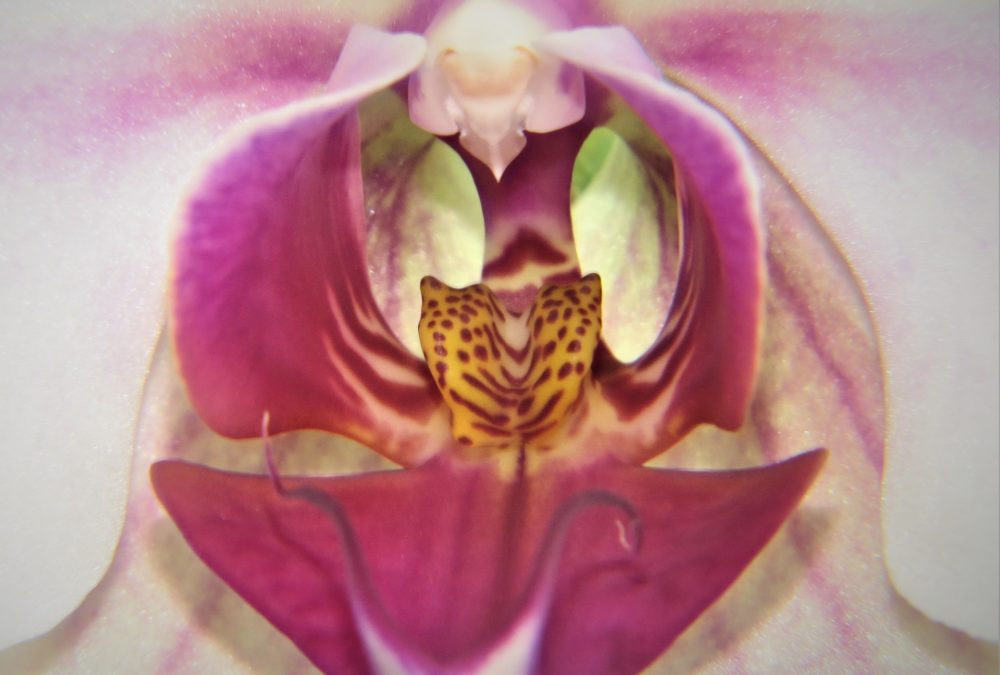 orchid representing pussy
